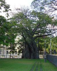 Mudas de Baobá africano