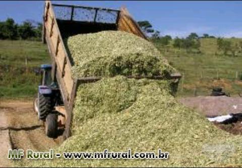 Forragem de milho