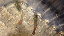 peixes ornamentais atacado