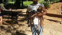 Venda de Lote de Ovelhas