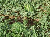 Vende-se melancia