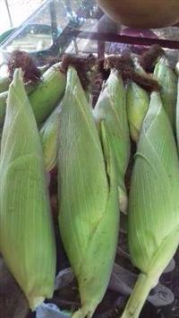 Vendo produção de 5 hectares de milho verde.