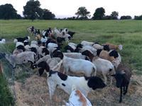 Disponível são as melhores raças de carneiros,