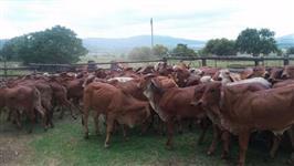 Gir mais vendido e outras raças de gado para venda.