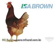 Galinha Isa Brown