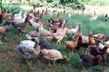 Ovos galados de galinha caipira