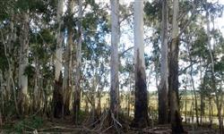 Tora grossa de eucalipto