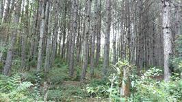 Pinheiros pinus elliottii