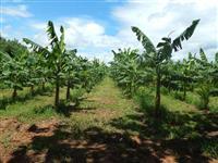 Mudas Banana da Terra ( Farta-Velhaco)