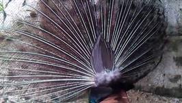 Pavão ombros negros
