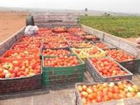 Venda de Tomates