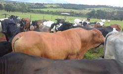 Vacas paridas de Senepol