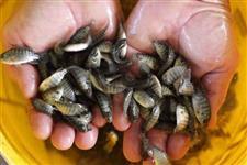 Abrigo do Peixe - Vendas de Alevinos Juvenis e Adulto