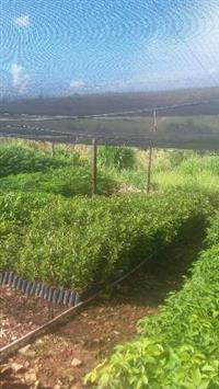 Mudas de árvores nativas e cafeeiras para entrega imediata em todo Brasil