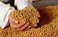 semente de soja