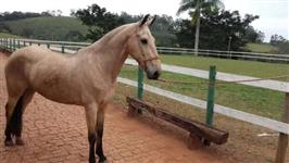 Égua Campolina - 8 anos