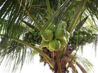 Venda de coco verde e coco seco...