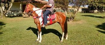 Cavalo mangalarga