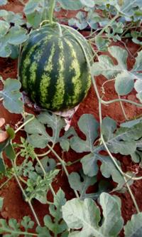 vende-se melancia de excelente qualidade