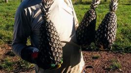 Frutone para Abacaxi