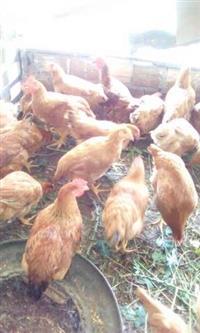 Vende-se galinhas caipiras