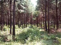 Reflorestamento de Pinus e Eucalipto