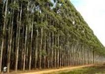 Eucalipto Reflorestamento