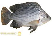 Tilapia (peixe)