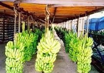 Bananas de todos os tipos: Nanica, Prata, Pacovan entre outras