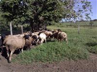Borregas 3/4 dorper e um reprodutor P.O.