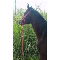 Vendo cavalo crioulo vindo da cabana santa branca