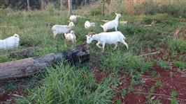 Cabras mestiças saanen