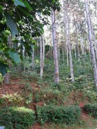 Vendo Plantio de eucalipto com idade entre 14 a 30 anos