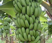 Banana & Cia