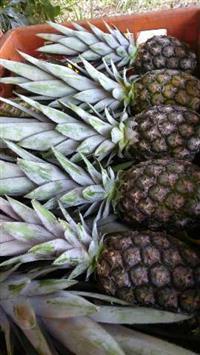 Abacaxi Perola de 300 a 500  gramas