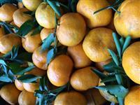 Bergamota Montenegrina