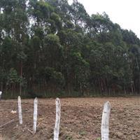 Mata de eucalipto 100 mil pés - 10 anos