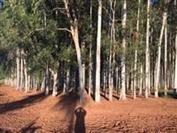 Floresta eucalipto citriodora
