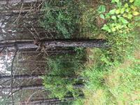 Vendo 3500 pés de pinus elíoti