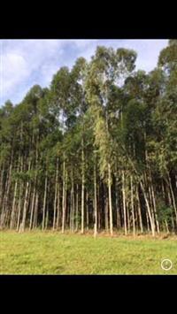 arvore de eucalipto
