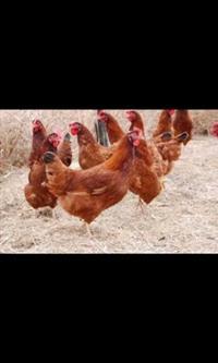 Ovos Galados de galinha embrapa 051