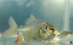 Alevinos de peixes,varias espécies