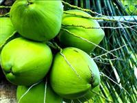 Vendo coco seco e verde