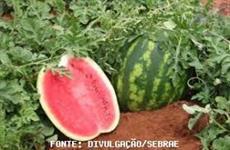melancia de primeira qualidade