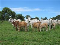 Vaca Nelore vazia não e Jersey Tabapua Holandesa Senepol