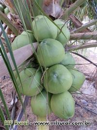 Cocos verde