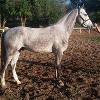 Cavalo Brasileiro de Hipismo LF KING OF SILVER