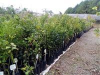 Mudas Frutíferas Nativas Ornamentais e Serviços de Plantio de Nativas em Geral