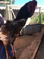 Vendo ovos da raça Calcuta cara de coruja