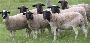 Borregos e Ovelhas dorper